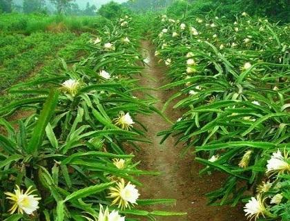 萍乡花卉苗木